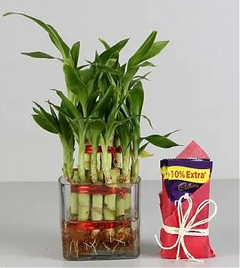 Two Layer Bamboo Plant With Dairy Milk Chocolates