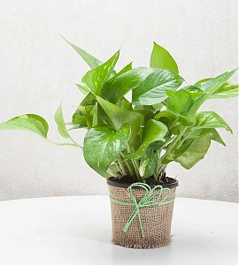 Gift Money Plant for Prosperity