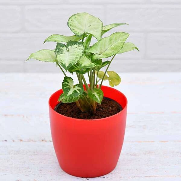 Syngonium variegated - (Air purify  Plant )